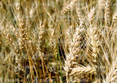 imagen-casafe-cultivos-trigo-7