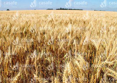 imagen-casafe-cultivos-trigo