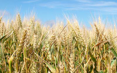 Recomendaciones para un manejo integral de enfermedades en cereales de invierno