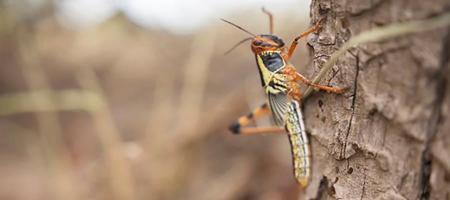 CASAFE y SENASA presentan la Guía de Recomendaciones para el control de langostas y tucuras con productos fitosanitarios