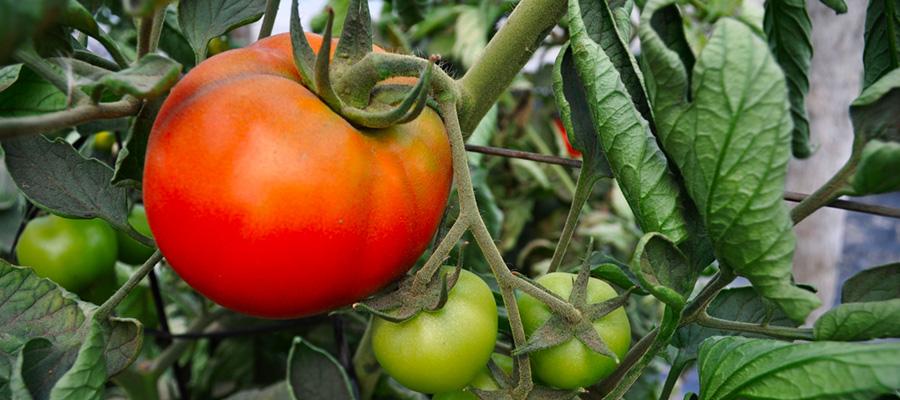 Manejo de la mosca blanca en tomate