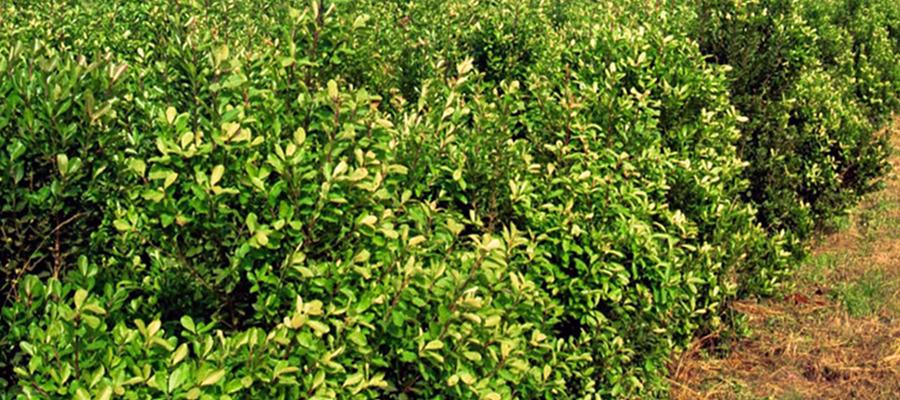 nota3-tecnica-casafe-BPA-en-el-cultivo-de-yerba-mate