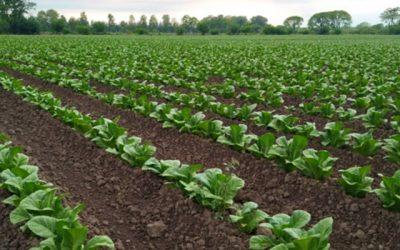 Buenas Prácticas Agrícolas en el cultivo de Tabaco