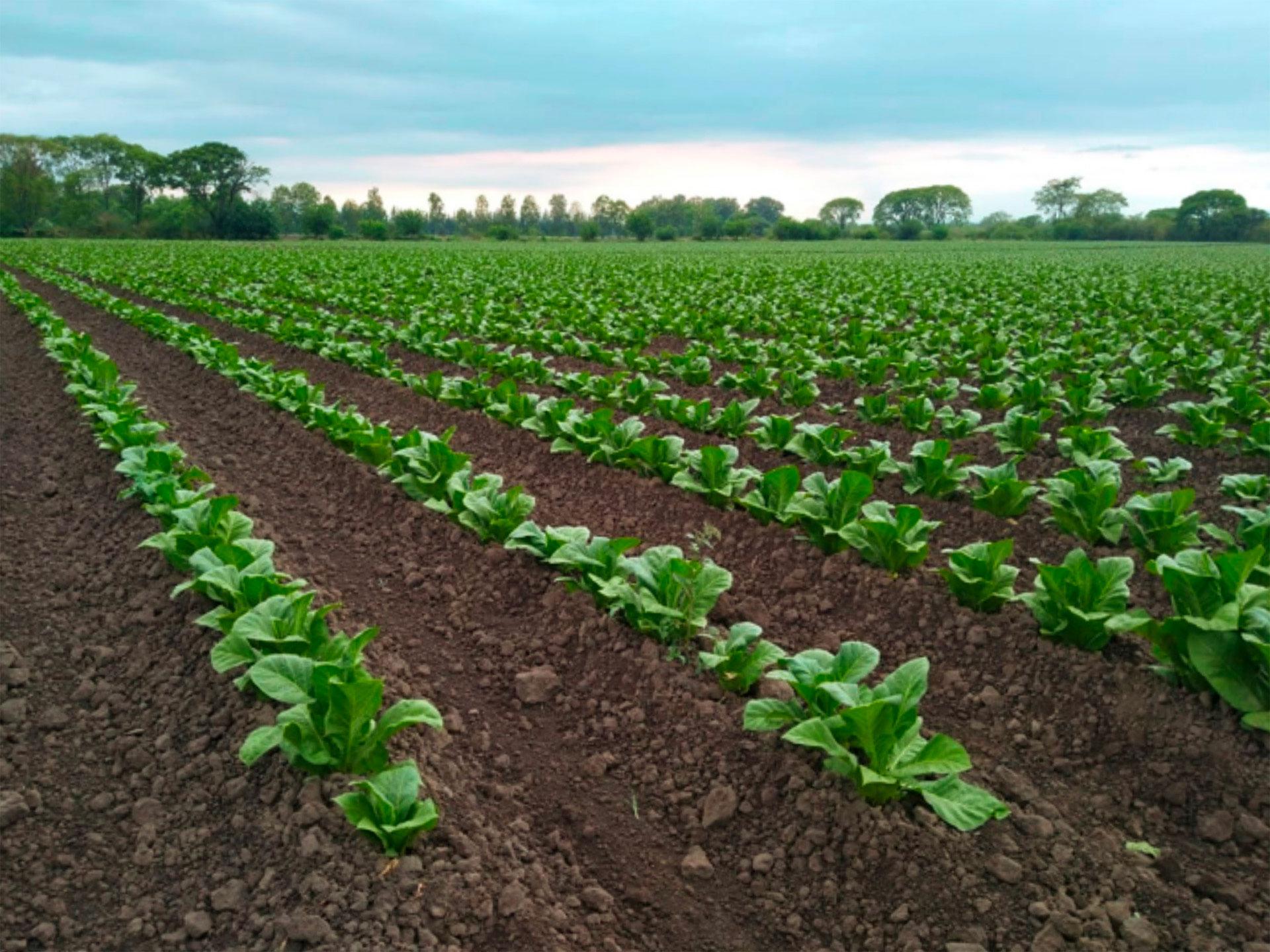 foto cultivo de tabaco